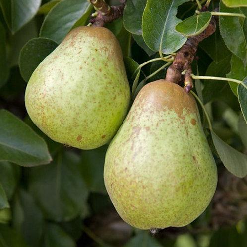Pear - Williams Bon Chretien
