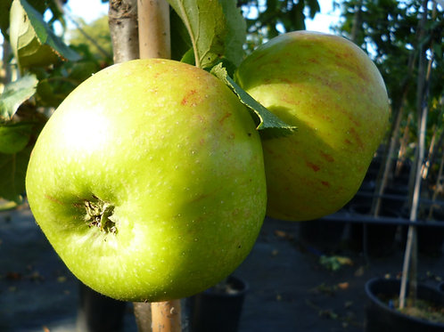 Apple Bramley