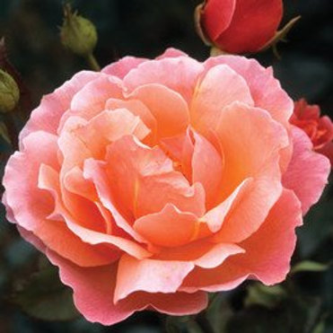 Rose - Fragrant Delight