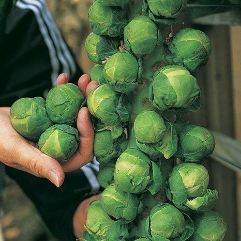 Sprout Trafalgar
