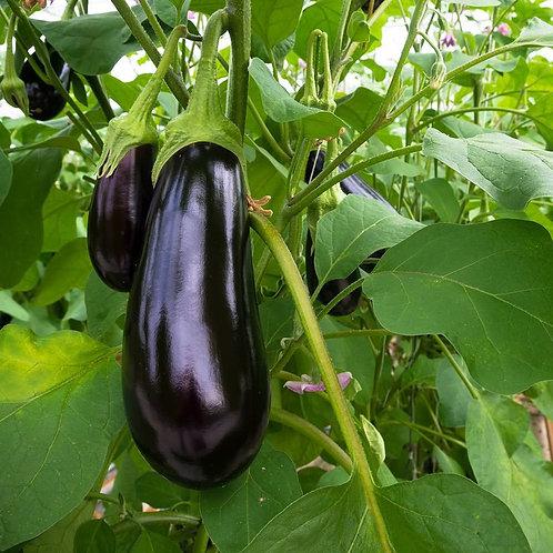 Aubergine - Black Beauty