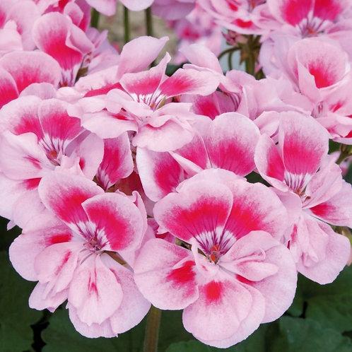 Geranium Fantasia Pink Light Splash