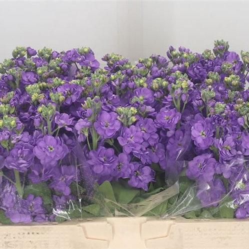 Stocks - Figaro Lavender - 6 Pack