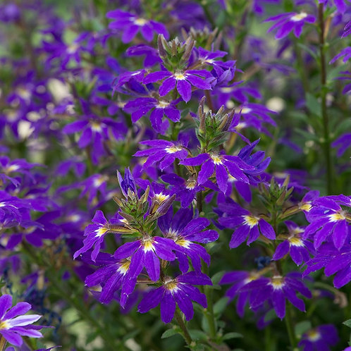 Scaevola Fancy Purple