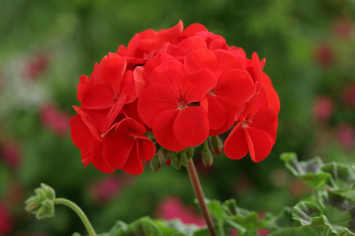 Geranium Horizon Red - 6 Pack
