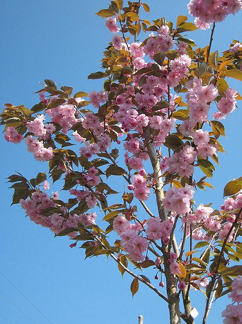Prunus Kanzan