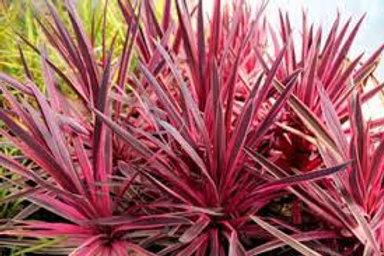Cordyline Australis - Pink Passion