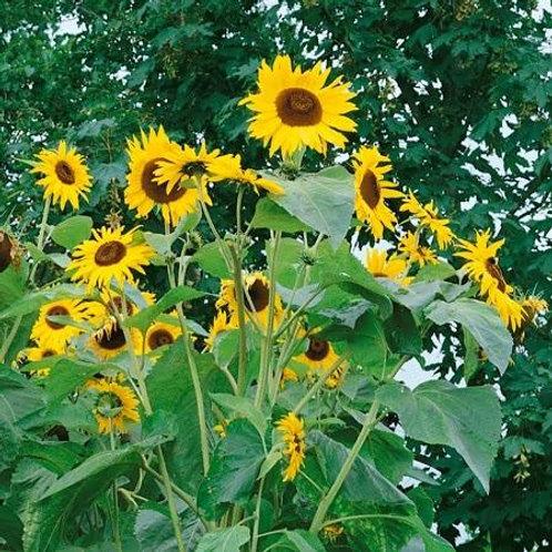 Sunflower - Kong F1
