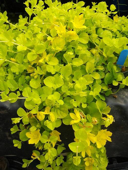 Lysimachia Nummularia Gold