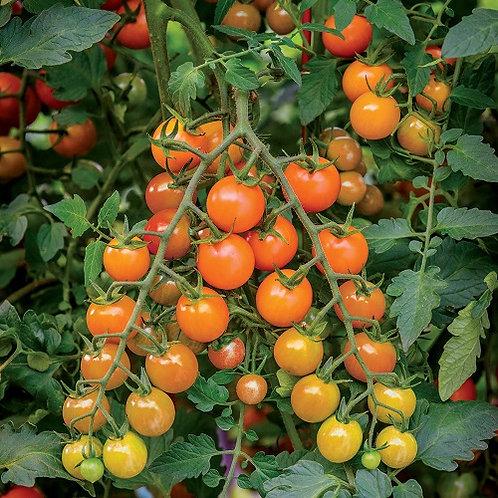Tomato - Honey