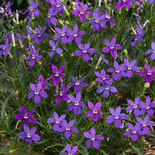 Isotoma Fizz n Pop Purple