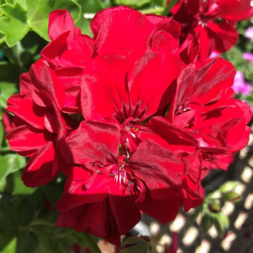 Geranium Precision Dark Red