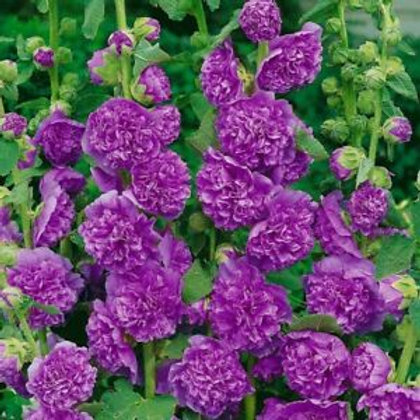 Hollyhock Chater Purple