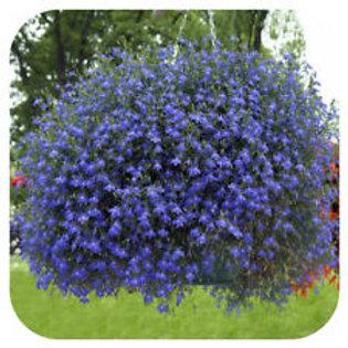 Lobelia Infinity Blue