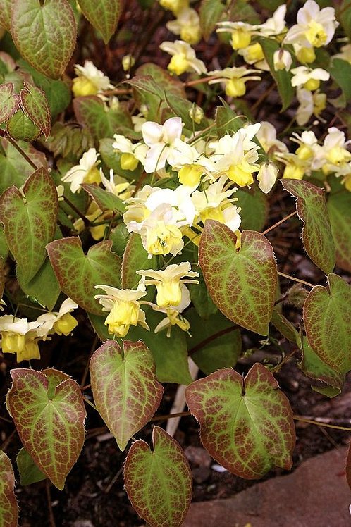 Epimedium Versicolor Sulphur