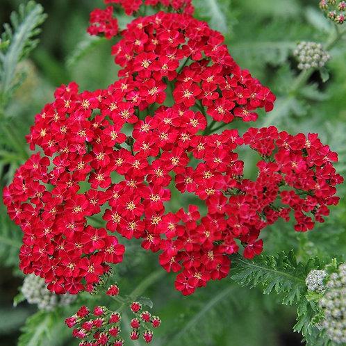 Achillea Red Velvet