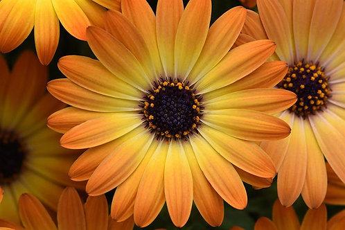 Osteospermum Sunshine Beauty
