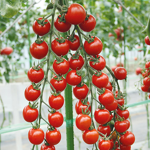 Tomato - Sun Cherry