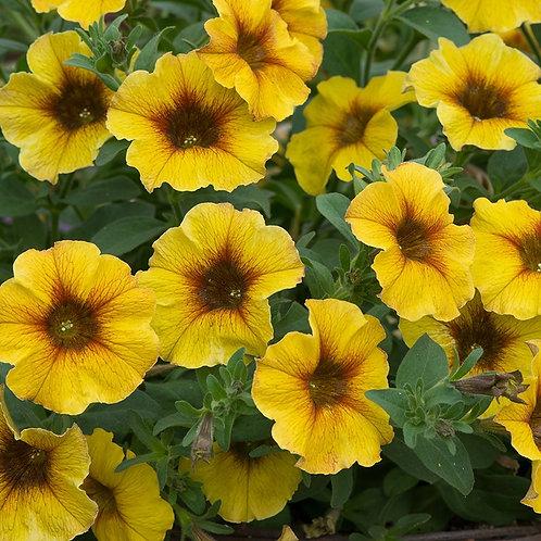 Petchoa BeautiCal Caramelo Yellow