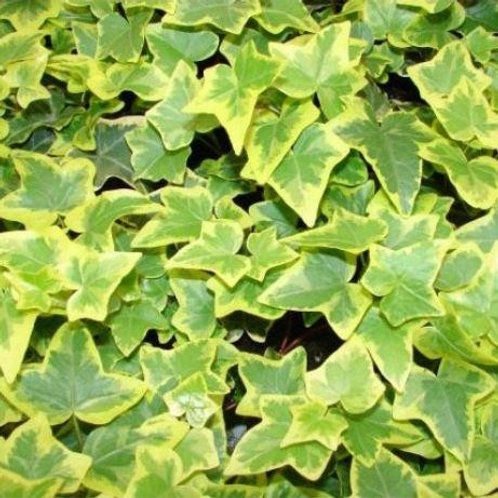 Hedera Helix Gold