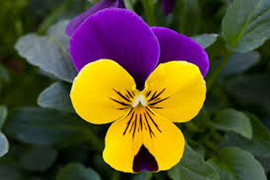 Pansy - Freefall Purple Wing 6 Pack