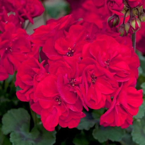 Geranium Fantasia Dark Red