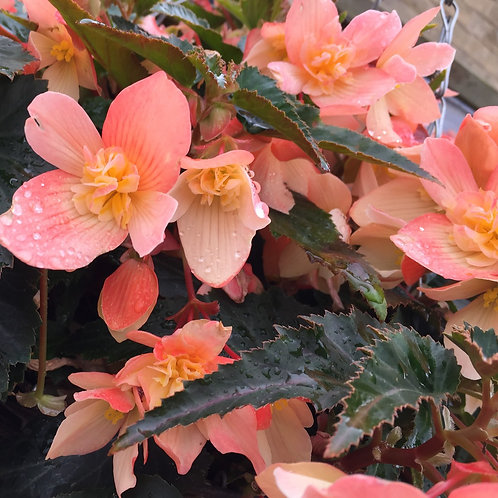 Begonia Truffle Cream