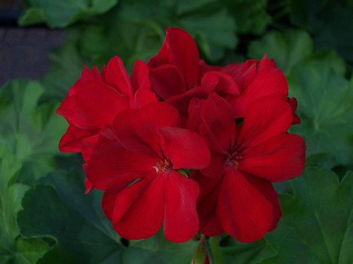 Geranium Marcada Red Dark