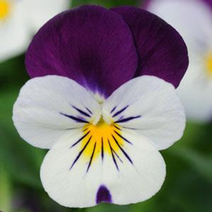 Viola - Penny White Jump Up 6 Pack