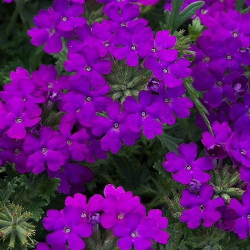 Verbena Enchantment Purple