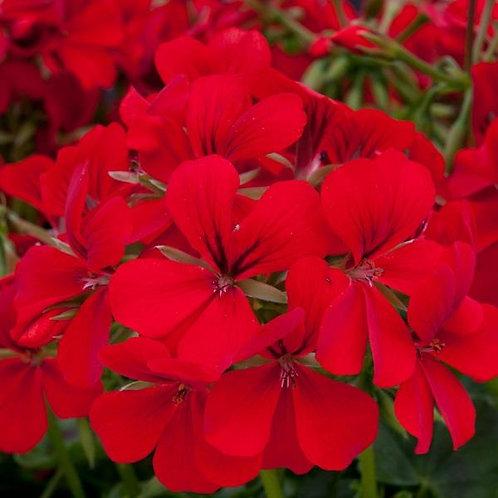 Geranium Supreme Red
