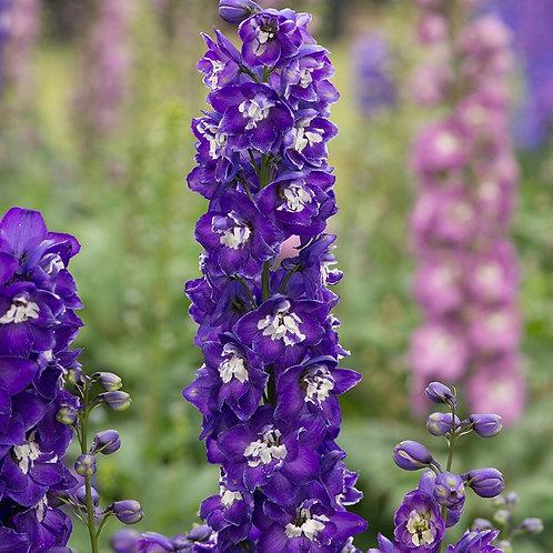 Delphinium Aurora Deep Purple