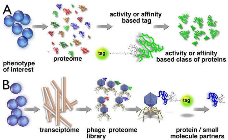 Phage display technology