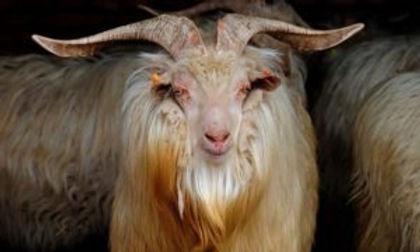 Chanthang-Goat-300x180.jpeg