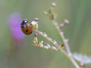 Coccinelle - Equilibre