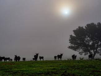 Taureaux camarguais dans la brume