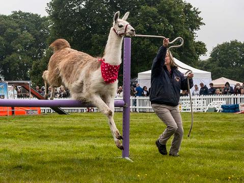 UK's Only Agility Llama Team