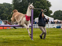 UK's Only Agility Llama Team