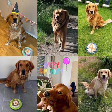 Unser Golden B-Wurf feiert seinen 4. Geburtstag