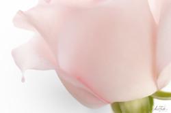 Pink Rose drop 2021