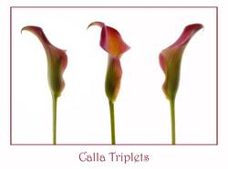 Calla triplets 2021