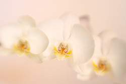 White Orchids 01
