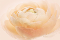 Ranunculus Blush