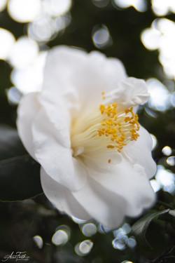 White glory Camilla 2021