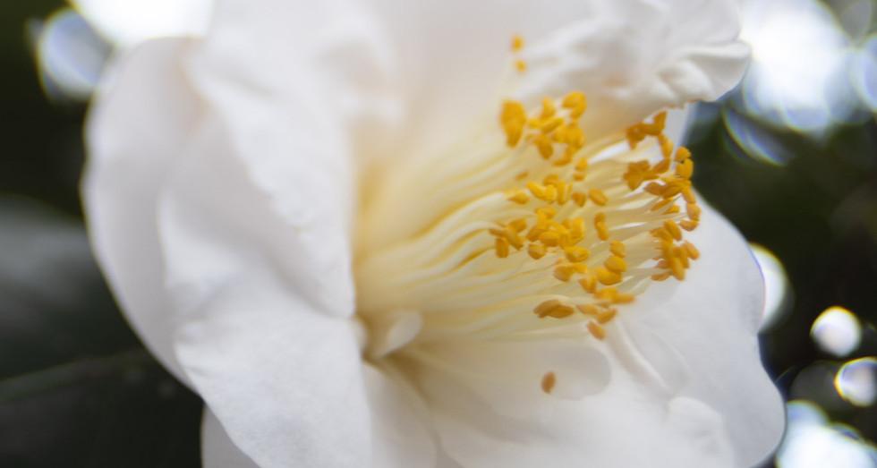 White glory Camilla