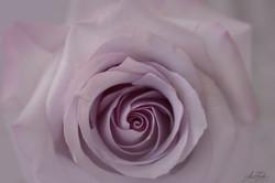 violet Rose 2021