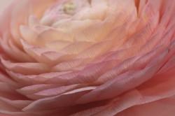 Ranunculus 02