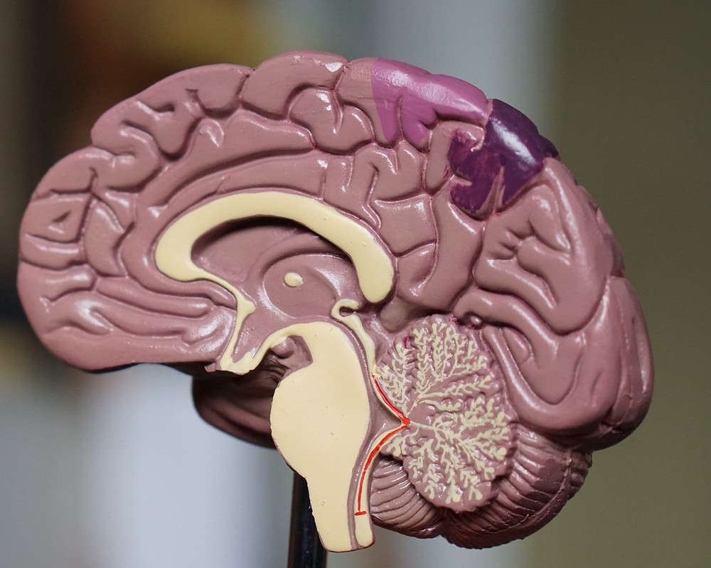 plastic model of brain, by Robina Weemeijer
