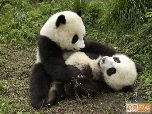 pandas playing together