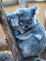 koala hugging her infant
